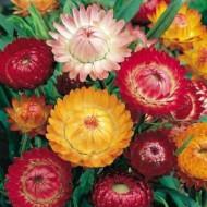 Flori de pai (Imortele) - 0.5 gr - Seminte Flori Imortele Planta Anuala de la Opal