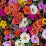 Flori de piatra double mix (0,15 g), flori cu aspect exotic, cu doua randuri de petale, in culori aprinse, Horti Tops
