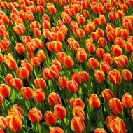Fly Away (8 bulbi), lalele rosu cu galben, bulbi de flori