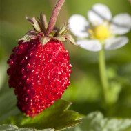 Fragute Rugen (0,02 g), seminte fragute, fructe mici foarte aromate, Agrosem