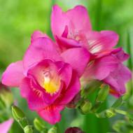 Frezii Double Pink (10 bulbi), flori roz, parfumate, duble, gofrate, bulbi de flori