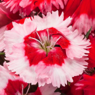 Garofite Indian Pinks - Seminte Flori Garofita de la Horti Tops