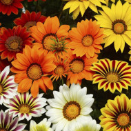Gazania mix (0,5 g), seminte de plante anuale cu flori superbe, divers colorate, Opal