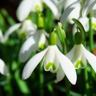 Ghiocei (10 bulbi), ghiocei albi puri, bulbi de flori