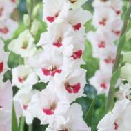 Gladiole Candy Bar (8 bulbi), gladiole cu flori mari, cu petale de un alb-roz foarte fin si centrul portocaliu aprins, bulbi de flori