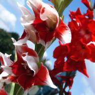 Gladiole Pretty Guy (7 bulbi), culoare floare rosu cu alb, bulbi de flori