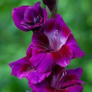 Gladiole Velvet (5 bulbi), gladiole cu flori mari cu petale catifelate colorate intens in mov-purpuriu si atingeri de roz, bulbi de flori