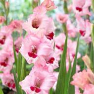 Gladiole Wine and Roses (5 bulbi), gladiole cu petale usor gofrate, in nuante fine de roz si un strop de rubiniu la baza florilor, bulbi de flori