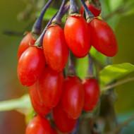 Goji Korean Big, rasad de Goji Berry, arbust peren rezistent la seceta, fructemari, Yurta