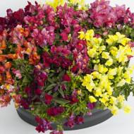 Gura leului curgatoare F1(20 seminte) flori viu colorate mix, Agrosem