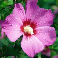 Hibiscus Russian Violet, butasi de Hibiscus syriacus, arbusti cu flori foarte mari, creponate, de culoare violet, cu nervuri si centrul rosii, Yurta