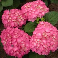 Hortensie Freudenstein, arbust ornamental cu flori mari, dantelate, parfumate, de culoare roz, Yurta