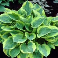 Hosta Wide Brim (ghiveci 1,5 L), planta decorativa cu frunze culoare verde inchis si margini galben-aurii