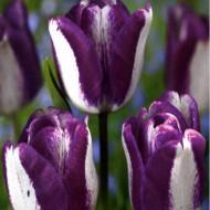 Hotpants (8 bulbi), lalele cameleon, bulbi de flori