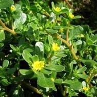 Iarba Grasa Medicinala (Grasita) - Seminte Plante Medicinale Iarba Grasa de la Florian