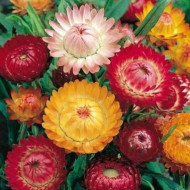 Imortele - 0.5 gr - Seminte Flori Imortele Planta Anuala de la Opal
