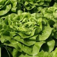 Judita - 5000 sem - Seminte de salata de capatana destinata culturii din spatii protejate cu frunze luminoase ce se dezvolta repede si bine de la Rijk Zwaan