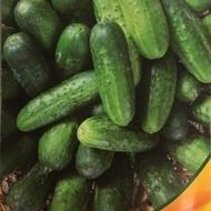 Kala F1 (5 gr) seminte castraveti cornison extratimpurii, productivitate foarte mare, pentru sere si solarii, Agrotop Bulgaria