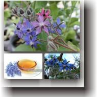 Limba mielului (2 gr) seminte planta anuala medicinala pentru salate, decorativa, Agrosem