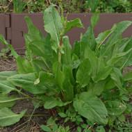 Macris (0,8 g), Seminte de Macris Planta Aromatica si Medicinala, Agrosem