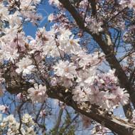 Magnolie Stellata Rosea, arbust ornamental cu flori stelate mari, parfumate, de culoare roz suav, Yurta