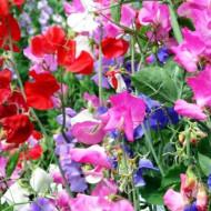 Mazariche de gradina (2 g), seminte de flori cataratoare parfumate si divers colorate, Kertimag