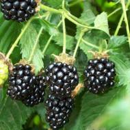 Mur Thornfree, butas de mure soi cu fructe foarte mari, suculente, cu gust placut, dulce-acidulat, Yurta