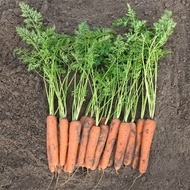 Nacton F1 - 25.000 sem - Seminte de morcov (calibru seminte > 2.0 mm) tip Nantes cu radacini netede si uniforme bine inchegate ce ofera o productivitate ridicata de la Bejo