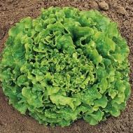 Noisette - 5 grame - Seminte de salata creata tip Batavia ce formeaza capatani cu frunze usor ondulate la periferie si foarte fragede recomandata a fi cultivata in toate anotimpurile de la Enza Zaden