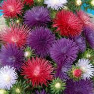 Ochiul boului Harz mix (0,4g), seminte de ochiul boului cu flori mari, divers colorate, cu inflorire continua pana toamna, Agrosem