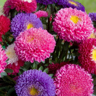 Ochiul boului Princess mix (0,4g), seminte de ochiul boului cu flori mari, deosebit de frumoase, diverse culori, Agrosem