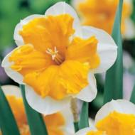 Orangery (5 bulbi), narcise portocalii cu margini albe, bulbi de flori