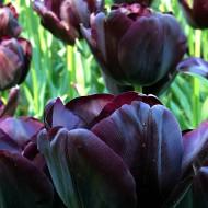 Paul Scherer (8 bulbi), lalele negre, bulbi de flori