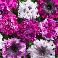 Petunie Superbissima (0.01 grame), petunie flori mari, curgatoare, inflorire abundenta, Agrosem