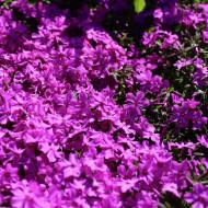 Phlox Hot Pink Spring (in ghiveci de 1 L), rasad de brumarele taratoare cu flori de culoare roz luminos