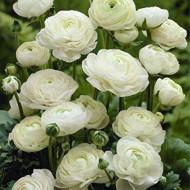 Ranunculus White (10 bulbi), flori culoare alba, inflorescenta bogata, bulbi de flori