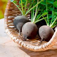 Ridichi de iarna Black Spanish Round (1 kg), seminte de ridichi de iarna soi tardiv, radacini mari, Agrosem