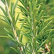 Rozmarin Medicinal (80 seminte) Plante Medicinale Aromatice Rozmarin de la Florian