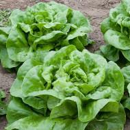 Salata Attraction - 2 gr - Seminte Salata Soi Timpuriu Capatana Marime Meide origine Italia, Opal