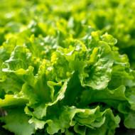 Salata Gentilina (1600 seminte), salata creata soi timpuriu frunze mari, gustoase, Agrosem