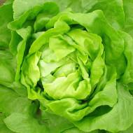 Salata Imperial Winter (1 kg), seminte de salata de iarna rezistenta la temperaturi scazute, Agrosem