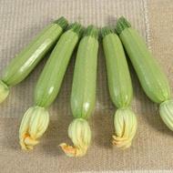 Salman F1 - 500 sem - Seminte de dovlecei cu fructe cilindrice de culoare verde deschis avand o perioada de vegetatie de 40 de zile foarte productiv de la Hollar Seeds