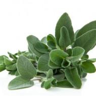 Salvie Medicinala Officinalis (120 seminte) de salvia planta medicinala, Prima Sementi