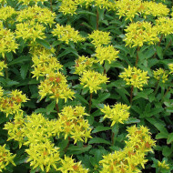 Sedum kamtschaticum (ghiveci 1 L), rasad planta suculenta vesnic verde, frunze culoare schimbatoare, flori galbene stelate