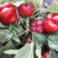 Seminte ardei gras California Supreme (100 gr), Top Harvest