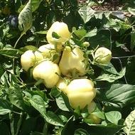 Seminte ardei gras Maradonna F1 (100 seminte), nedeterminat, Seminis
