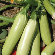 Seminte dovlecei Izobilna (5 gr), foarte productiv soi timpuriu, gust excelent, Florian