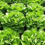 Seminte drajate salata SV0001LB (5000 seminte), timpurie, Seminis