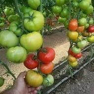 Seminte rosii Matissimo F1 (500 seminte), tomate extratimpurii, Seminis