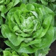 Seminte Salata Guenda (fosta Meduza) 5 gr Seminte de salata de capatana pretabila pentru sezonul rece ce se remarca prin frunze stralucitoare de un verde intens de la Isi Sementi